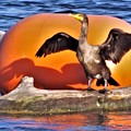 Double Crested Cormorant    Drying Wings         September        Indiana by Rory Cubel