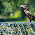 Double-crested Cormorant by Jonathan Hansen