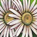 Double Daisy by Amy E Fraser