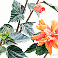 Double Orange Hibiscus With Buds by Sharon Freeman