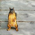 Douglas Squirrel Female by Sharon Talson