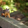 Douglas Squirrel On The Boardwalk by Sharon Talson