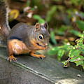 Douglas Squirrel With A Snack by Sharon Talson