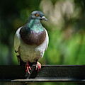 Dove Perched On A Fence by Pablo Avanzini