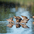 Dowitchers Dining by Robert Potts