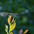 Dragon Fly by Robert Anderson