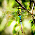 Dragonfly by David Morefield