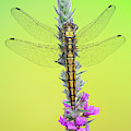 Dragonfly On Flower by Marco Fischer