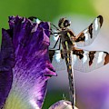 Dragonfly On Iris by Susan Rydberg