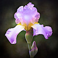 Dramatic Purple Iris by Anita Pollak
