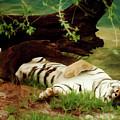 Dreaming - Tiger by D Hackett