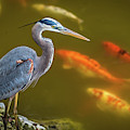 Dreaming Tricolor Heron by Francisco Gomez