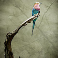 Dreams Of A Lilac Breasted Roller by Mary Lee Dereske