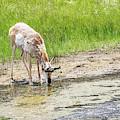 Drinking Antelope by Michael Chatt