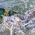 Duck Fight by Kate Brown