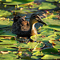 Duck Swimming On The Pond. by Rob D Imagery