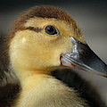 Duckling by Perry Correll