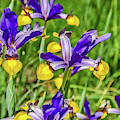 Dutch Iris In Purple And Yellow by Sue Smith