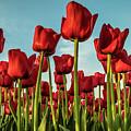 Dutch Red Tulip Field. by Anjo Ten Kate