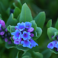 Dwarf Bluebell Detail by Cascade Colors