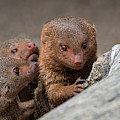 Dwarf Mongooses by Arterra Picture Library