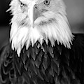 Eagle1 Black And White by David Millenheft