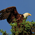 Eagle In Treetop by Debbie Stahre