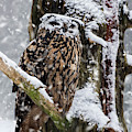 Eagle Owl In Snowstorm by Arterra Picture Library