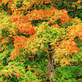 Early Fall Maple 2212 by Dan Beauvais