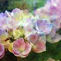 Early Hydrangea 6287 Idp_2 by Steven Ward