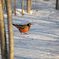 Early Robin Gets The Sumac by Brian Hale