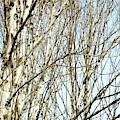 Early Spring Aspens by Jerry Sodorff