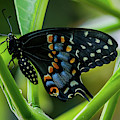 Eastern Black Swallowtail - Closed Wings by Jo Ann Gregg