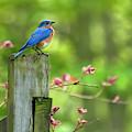 Eastern Bluebird by Christina Rollo
