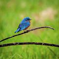 Eastern Bluebird II by Jeff Phillippi