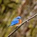 Eastern Bluebird by Jeff Phillippi
