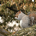 Eastern Gray Squirrel Plumping For Winter by Bill Swartwout Photography