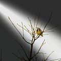 Eastern Meadowlark by Randy J Heath