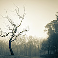 Eerie Tree Foggy Morning - Sepia by Gregory Ballos