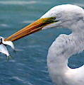 Egret Feeding  by Rob Wallace Images