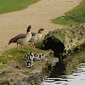 Egyptian Geese by Lynne Iddon