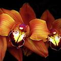 Orange Cimbidium Orchid by Jessica Jenney
