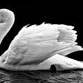 Elegant Swan by Top Wallpapers