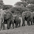 Elephant Herd by Christopher Ciccone