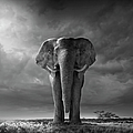 Elephant Walking In Grassy Field by Chris Clor