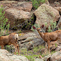 Eleven Mile Canyon Deer by Steve Krull