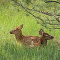 Elk Calves In Rocky Mountain National Park by Brenda Jacobs