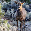 Elk Cow 1, Grand Canyon by Dawn Richards