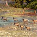 Elk Herd In A High Meadow by Steve Krull
