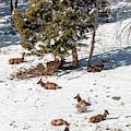 Elk In May Snow by Steve Krull